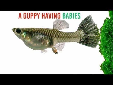A Guppy Having Babies