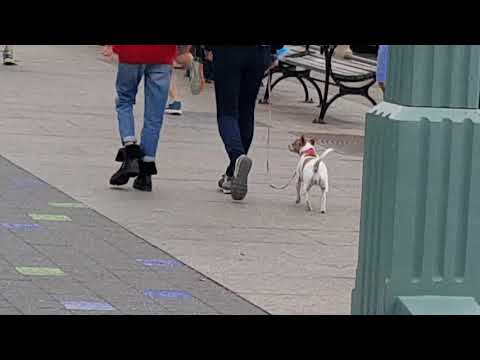 Three Legged Happiness I Chihuahua!
