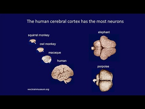 CARTA: Livesey-Primate Brain Development; Huttner-Neocortex Expansion; Kriegstein-Brain Expansion