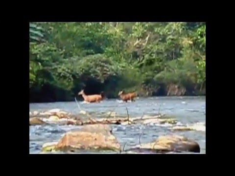 Wildlife Sambar deer in Nam Nern Night Safari Laos