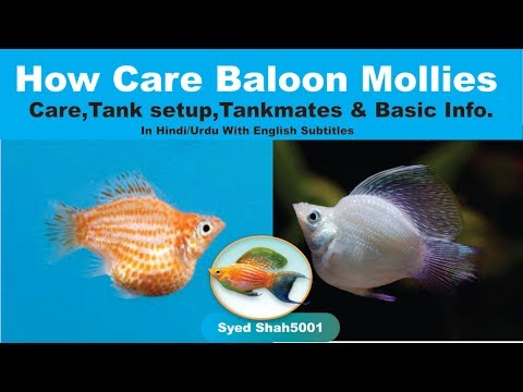 Balloon Mollies How To Care Balloon Molly Fish Care, Tankmates & Basic Info Hindi Urdu English Sub