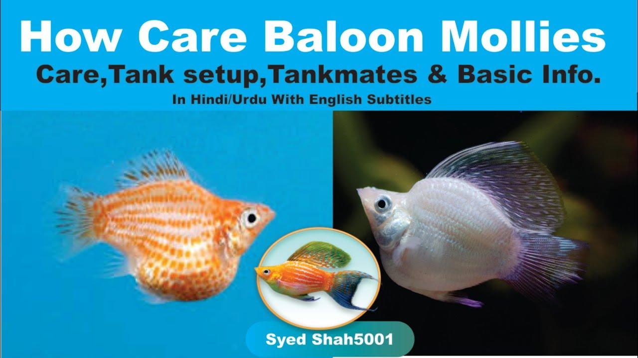 Balloon mollies balloon molly fish care tankmates basic for Balloon molly fish