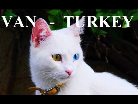 Turkey-Van cat (odd-eyed Van cat) Part 32
