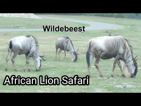 African Lion Safari/Driving through the Games Reserve