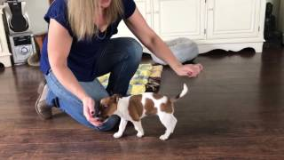 Jack Russell puppy training 9 weeks
