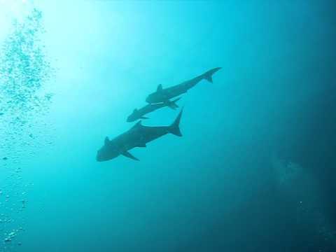 Koh Tang - sharks1.AVI