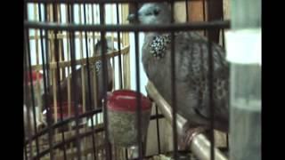 Phim 18 | Mô hình nuôi chim Cu Gáy đẻ thành công tại TP Việt Trì, tỉnh Phú Thọ | Mo hinh nuoi chim Cu Gay de thanh cong tai TP Viet Tri, tinh Phu Tho