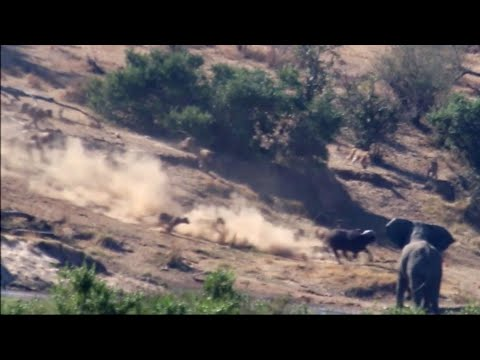 The battle at Croc River - Lions, buffalo and Elephant