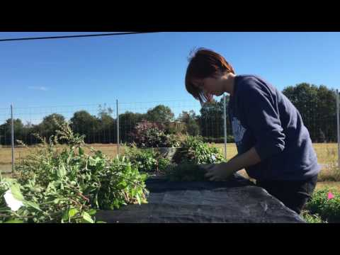 harvesting-and-distilling-holy-basil-essential-oil!