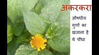 अकरकरा...........  औषधीय गुणों का खजाना है ये पौधा