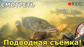 Ловля щуки на живца подводная съёмка Рыбалка Ловля щуки Щука на живца Щука атакует