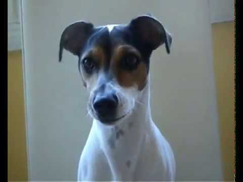 Cane che abbaia e saluta al comando funny dog jack russell for Cane che abbaia