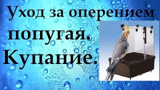 Уход за оперением попугая. Купание с помощью пульверизатора.