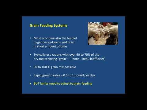 Getting Lambs on Feed