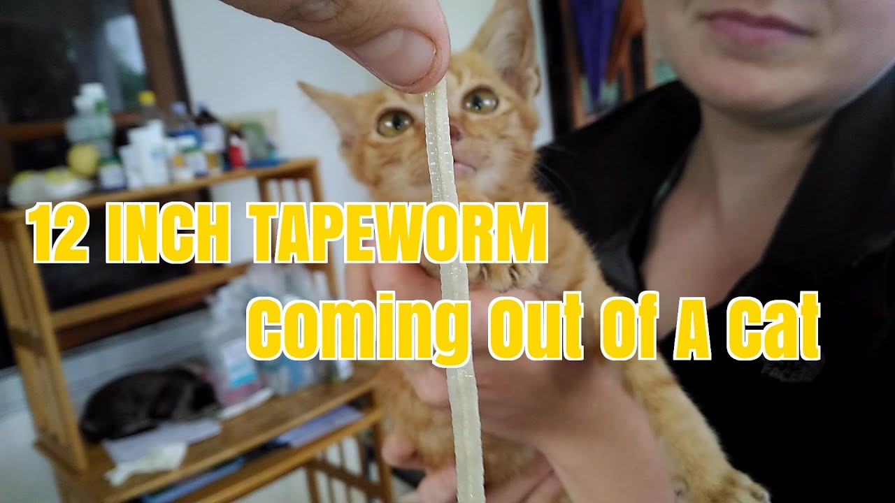 Tapeworm pull anus cat American girl