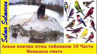 Ловля певчих птиц тайником 10 Часть - Навалило снега