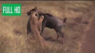 Дикие животные борются на смерть!!! борьба животных