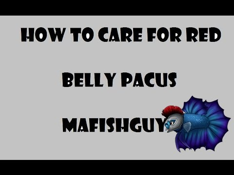How To Care For Red Belly Pacus