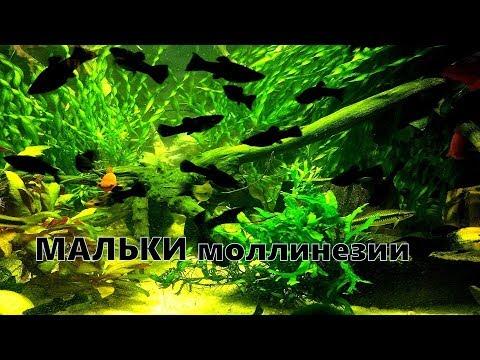 Мальки моллинезии  Живородящие рыбки в аквариуме