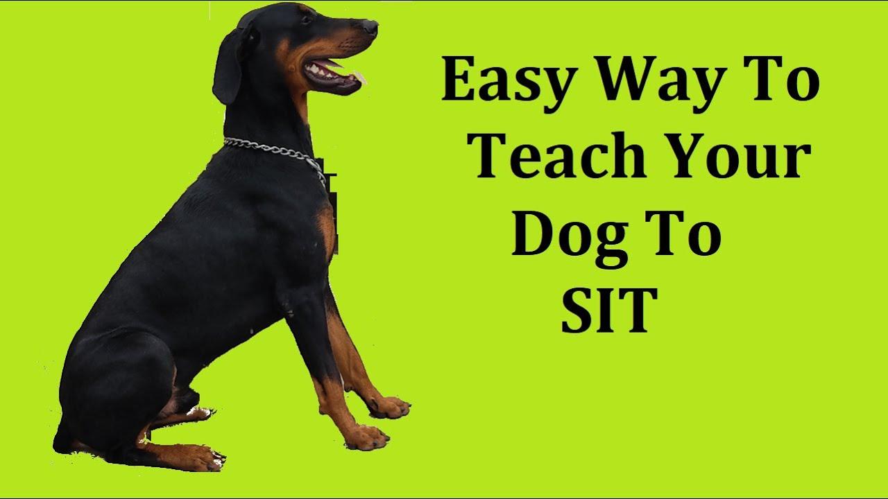 Dog Sit Training in Hindi | Indian Dog Squad #doberman