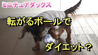 【ミニチュアダックス】マロンちゃんのボールでダイエット?