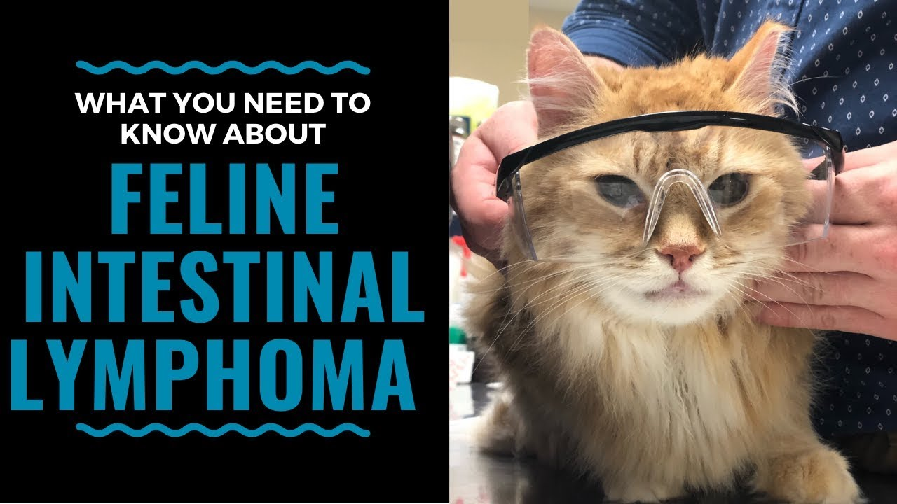 What You Need To Know About Feline Intestinal Lymphoma Vlog 98 Youtube