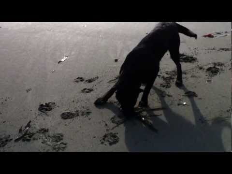 Bear's Adventures - Bears Love Seaweed, Pacific Ocean, Vancouver Island, British Columbia, Canada