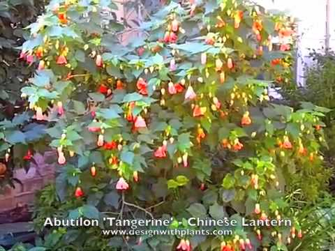 Abutilon Hybrids Chinese Lantern Youtube