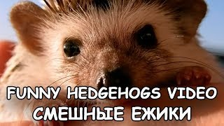 Funny Hedgehogs. Funny video 2017.