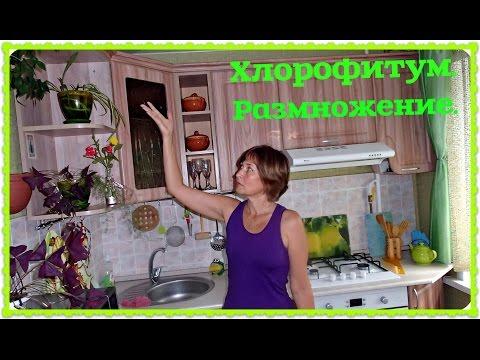 Хлорофитум. Размножение хлорофитума розетками. Цветок чистоты.