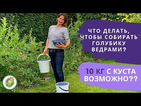 Собираем урожай голубики. Сколько можно собрать с одного куста.