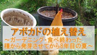 アボカドの植え替え・栽培~ガーデニング・食べ終わった種から発芽させ8年目の夏~ thumbnail