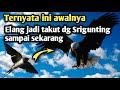 Kisah Pertarungan Burung Srigunting Bisa Mengalahkan Elang Si Raja Udara  Mp3 - Mp4 Download