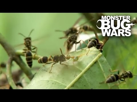 Green Ants Vs Paper Wasps | MONSTER BUG WARS