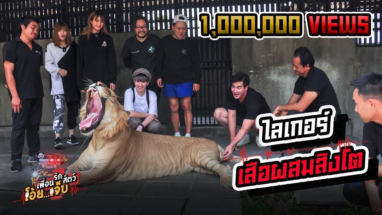ไลเกอร์ เสือผสมสิงโต - เพื่อนรักสัตว์โอ๊ย...เจ็บ