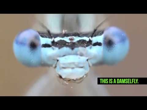 Damselflies Are Not Dragonflies
