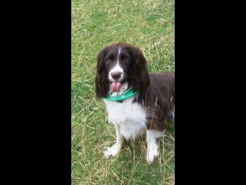 Holly Berry Springer Spaniel being bossy.
