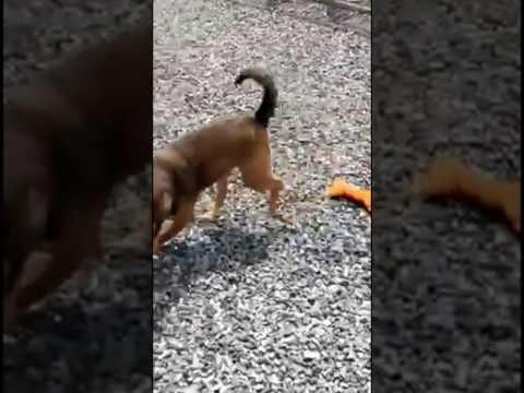 Adopt: Bengal the Pit Bull/Husky Mix
