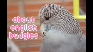 Learn About English Budgies | Budgie Information  ✨