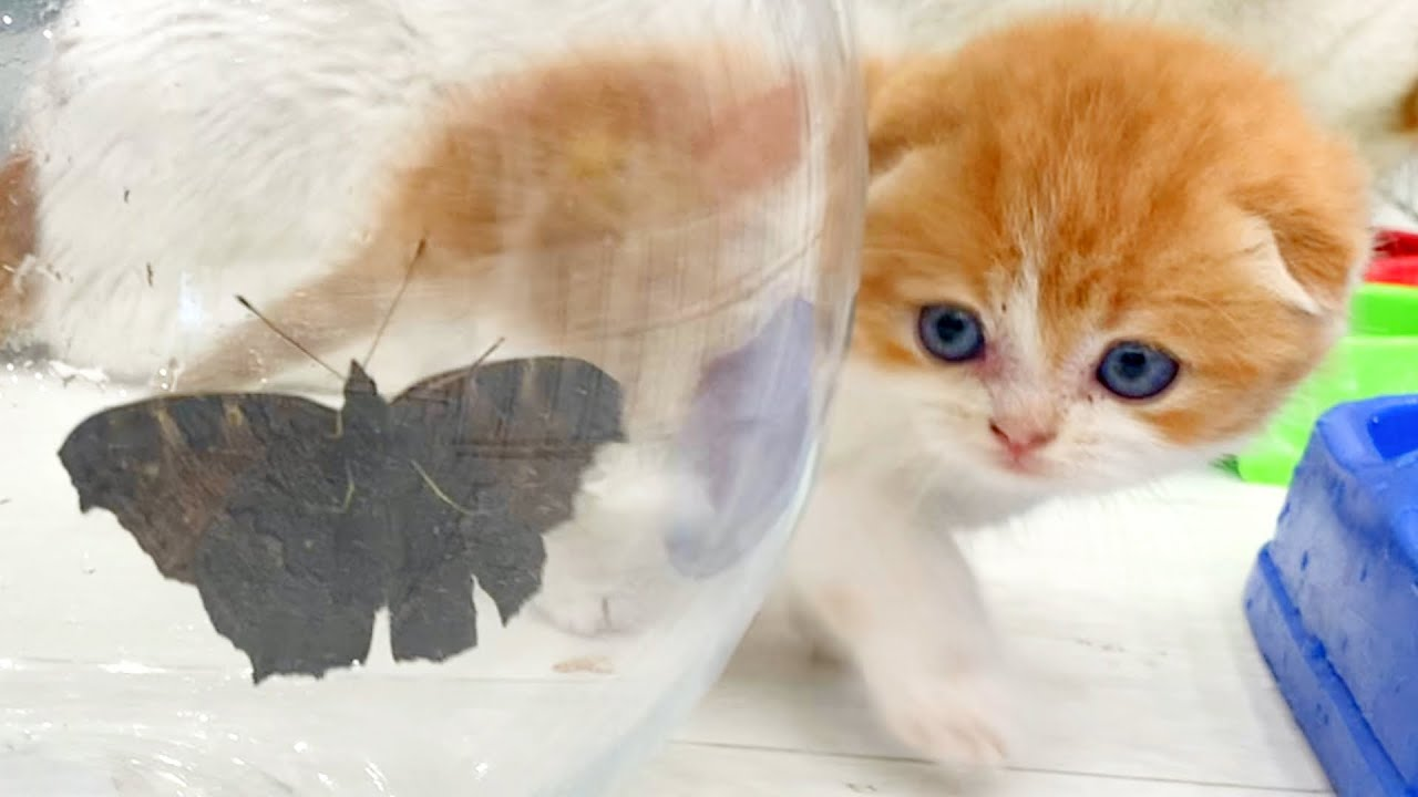 """Does she bite?"" Kitten Coco first time saw butterfly"
