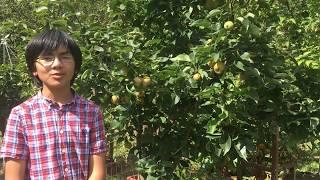 Yoinashi Asian Pear Fruits: Taste Like Malaysian Sugar Cane & Butterscotch - A Must For Nashi Lovers