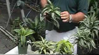 Dracaena 6-inch Assorted.mp4