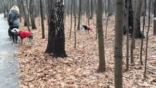 6 далматинов бегают по осеннему парку