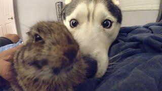 Husky Meets Baby Rabbit! (Best Friends?!)