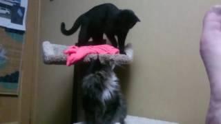 Котики. Бомбейский кот против Сибирского