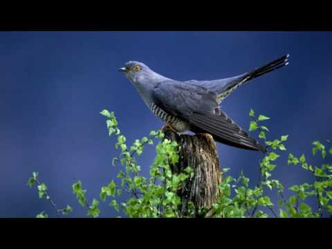 Cuckoo Bird | Free Ringtone Downloads for Android