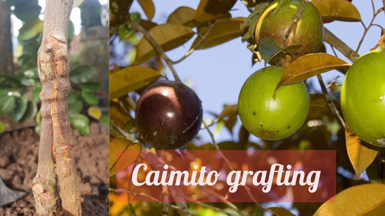 Caimito Star Apple Grafting Technique Youtube