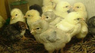 Кормление цыплят(Кормление 5-суточных цыплят. В этом видео один из вариантов мешанки для цыплят. Наш блог - http://artsad-manko.ru/ ..., 2014-03-31T17:28:44.000Z)
