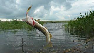Бешеный клёв щуки Сломали спиннинг Рыбалка в июне 2021 Астраханская область Рыбалка удалась