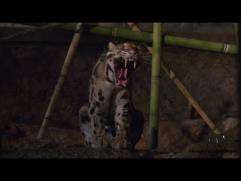 Dr. Mike's Video Blog: Clouded Leopard